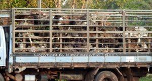 Die Hundeschmuggler von Thailand